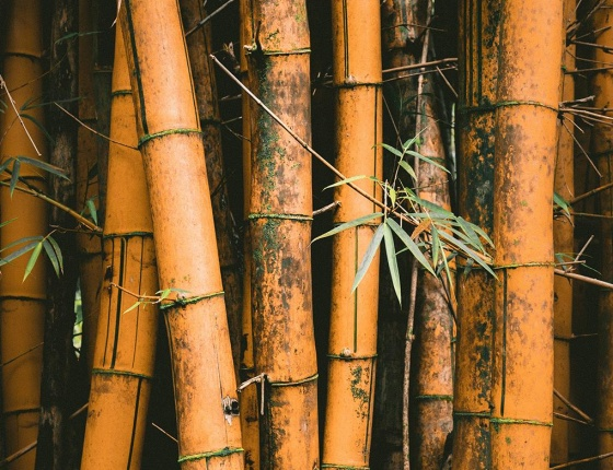 Chinese bamboo used in chinese traditional medicine